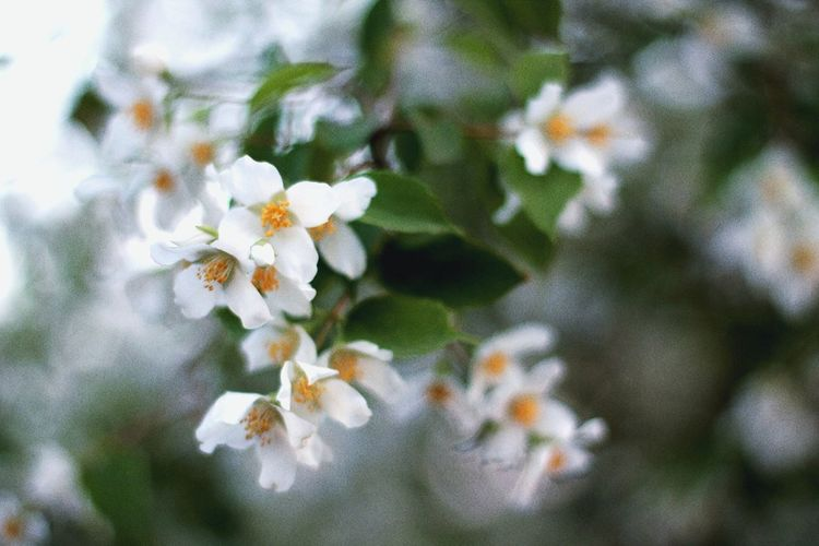 Canonphotography Canon Bokeh Canonrussia Canon_photos 50mm Россия Кавказ Summer кэнон Plant Stories From The City город 정경 жасмин макро цветы Jasmine Flower Macro Flower Head Flower Tree Branch Springtime Petal Blossom White Color Close-up Blooming