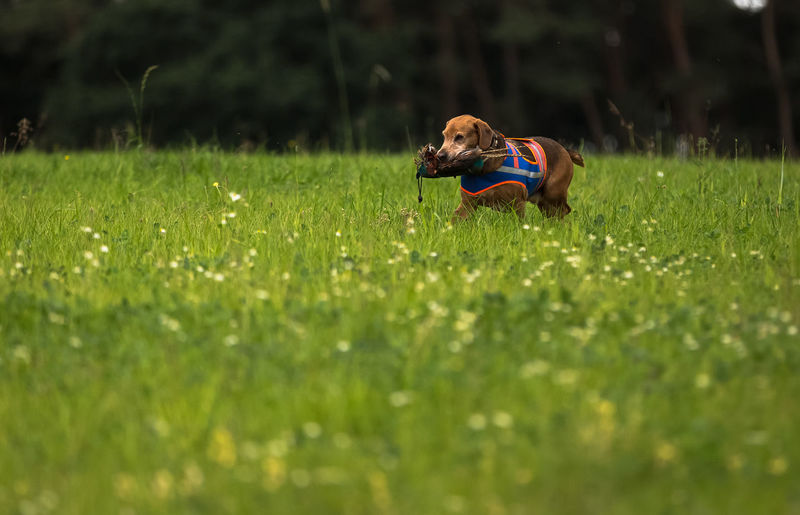 Brodie is working Animal Beauty In Nature Dog Dummy Focus On Foreground Grass Green Color Hunting Dog Nature Selective Focus Training Time Working
