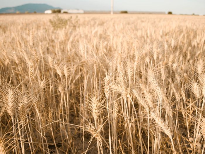 Cereal Lifestyle Sunsetphotography Summervibes Summerphotography Girl Travel Cereal Plant Wheat Agriculture Rural Scene Summer Gold Colored Field Crop  Sky Close-up Growing Cultivated Land Plant Life Agricultural Field Plantation Farm