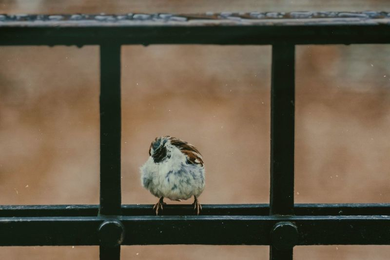 Bird Animal Themes Animal One Animal Perching Animal Wildlife Focus On Foreground Animals In The Wild Vertebrate Close-up Sparrow Day No People Railing Nature Metal Wood - Material Outdoors Window Glass - Material