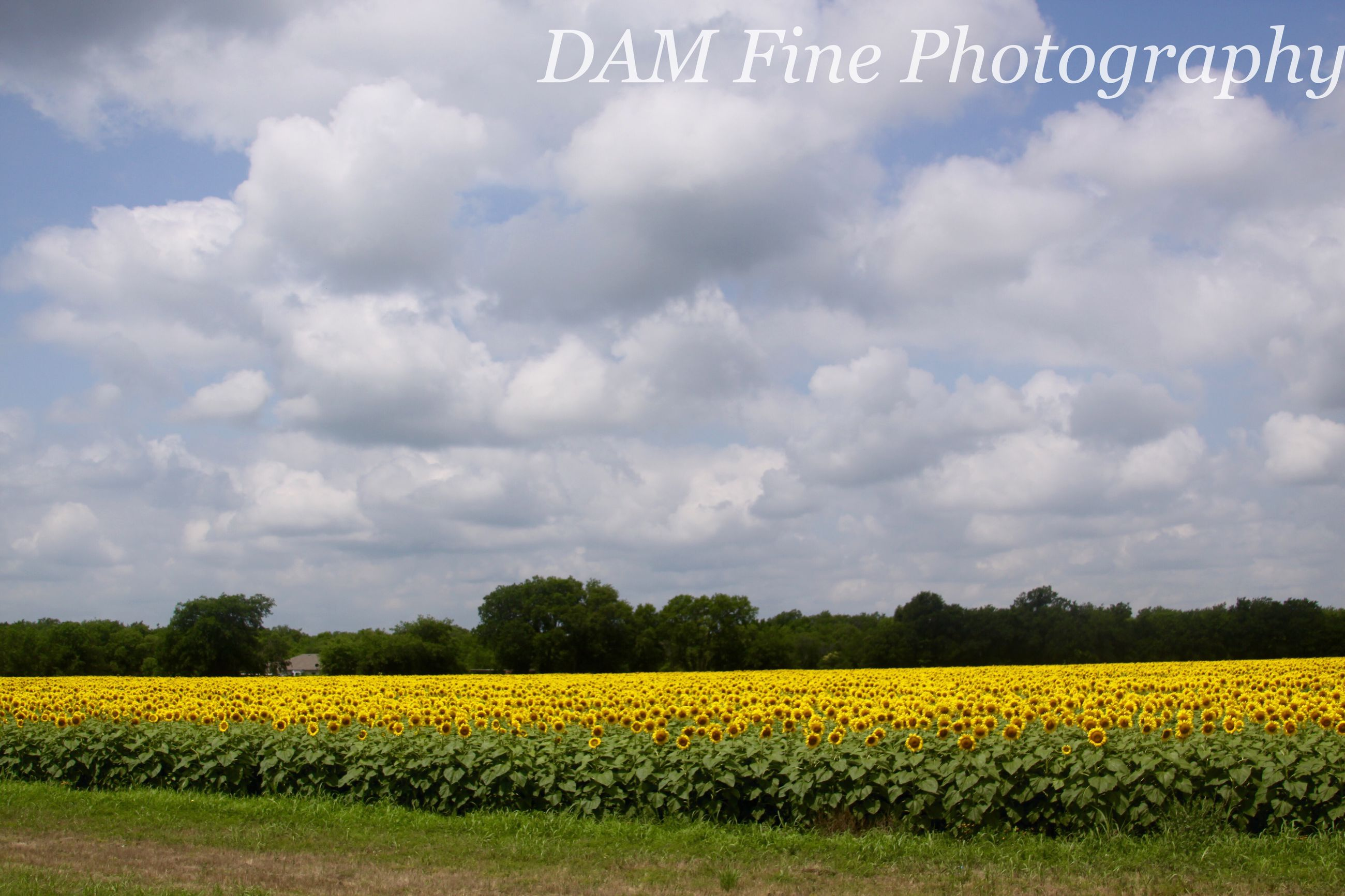 yellow, flower, agriculture, rural scene, field, beauty in nature, growth, sky, landscape, tranquil scene, farm, nature, oilseed rape, freshness, tranquility, crop, scenics, cloud - sky, abundance, cultivated land