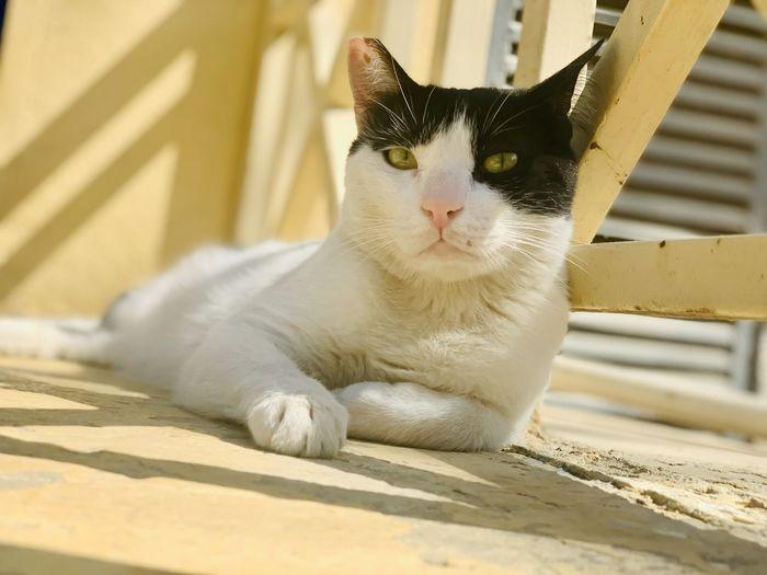 Portrait of white cat resting on floor