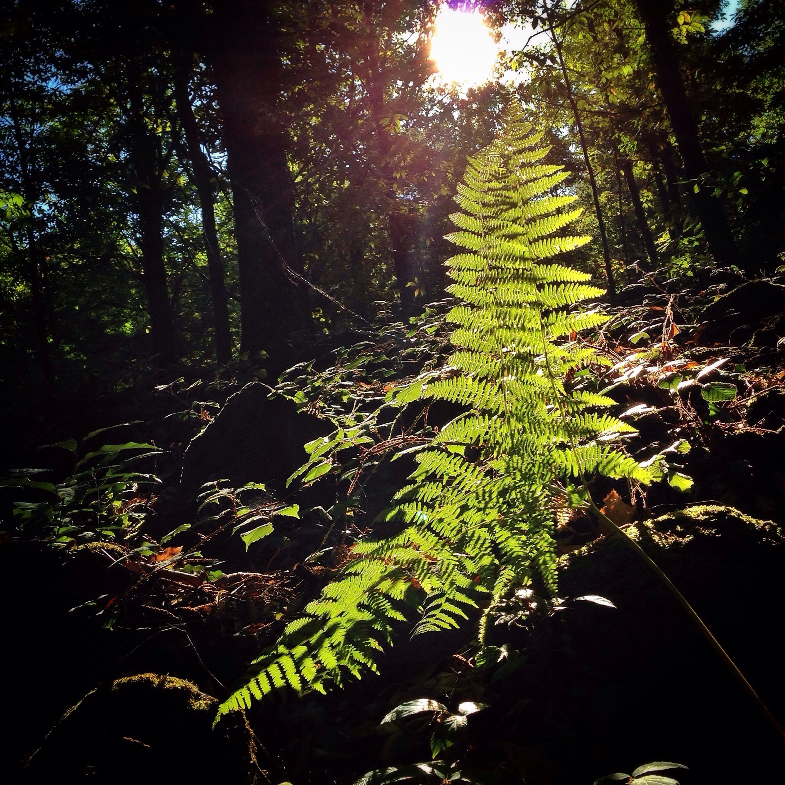 tree, growth, forest, green color, sunlight, sun, tranquility, sunbeam, lens flare, nature, tranquil scene, beauty in nature, scenics, lush foliage, woodland, branch, tree trunk, landscape, sunny, non-urban scene