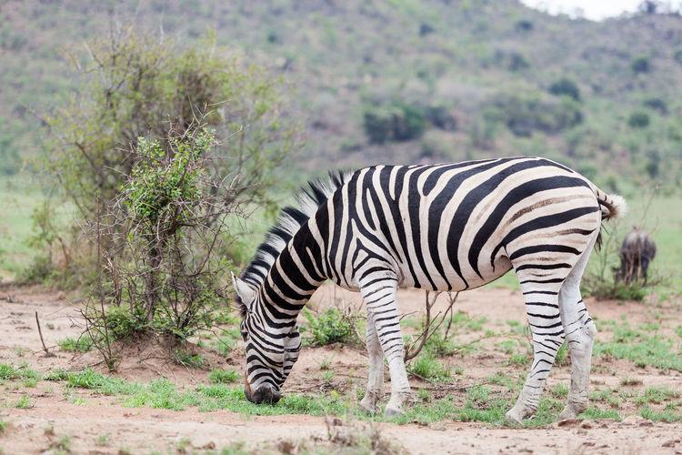 Zebra standing in a park