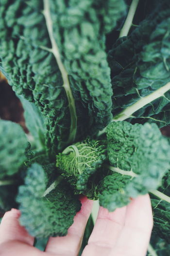 black kale Human Body Part Human Hand Indoors  Close-up People One Person Plant Green Color Leaf Adult One Woman Only Only Women Adults Only One Young Woman Only Day Healthy Food Healthy Kale Black Kale Curly Kale Vegetarian Food Healthy Lifestyle Raw Food Freshness Green Color