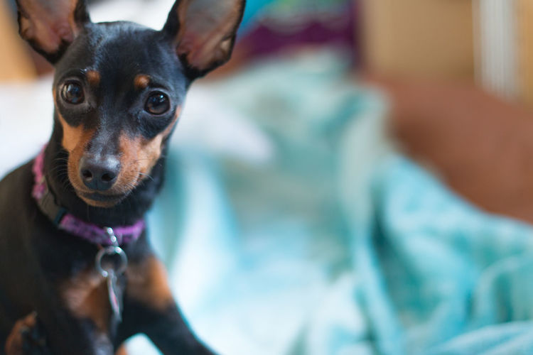 Cute Pets Looking At Camera Simple Moment Animal Animal Themes Black Dog Close-up Day Dog Domestic Animals Feelings Indoors  Mammal Miniature Pinscher No People One Animal Pet Pet Collar Pets Portrait Sitting