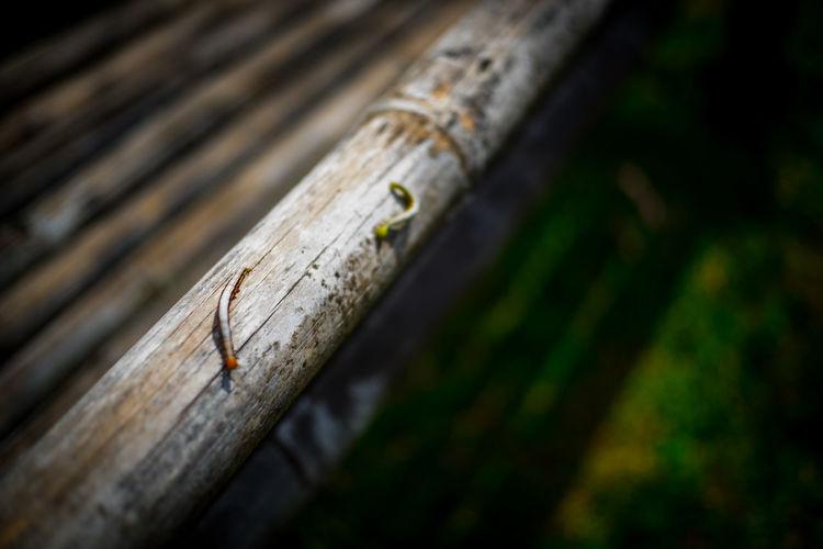 Close-up of caterpillars on bamboo