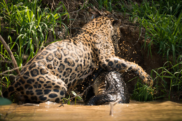 Leopard and animal fighting in lake