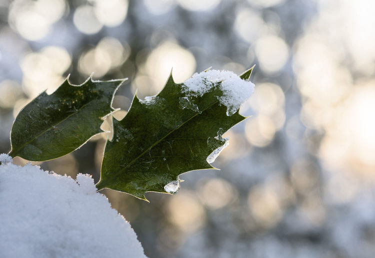 Close Up Close-up Day Forest Ice Ilex Leaf Macro Photography Morning Light Natur Nature Outdoors Snow Wald Winter