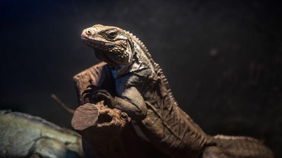 Close-Up Of Iguanas On Log