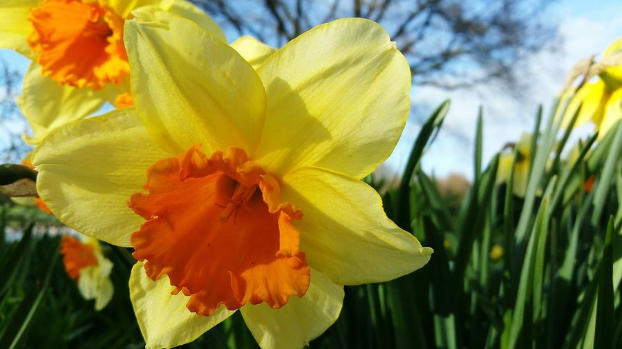 Flower Flower Head Petal Nature Yellow Beauty In Nature Plant Freshness Springtime Fragility Outdoors Close-up Daffodil Day Growth Stamen Leaf No People Day Lily Daffodils Flowers Daffodil Bloom Daffodils In The Sun Narcissus Hybride Fortissimo
