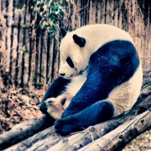 China Beijing Zoo Sad Panda Tired Resting Alone Contemplating Hunched Poor_Posture Black White TBT  Old_photo Travel Tourist Bamboo Nature Endangered  Fun_Times Life InstagramChina