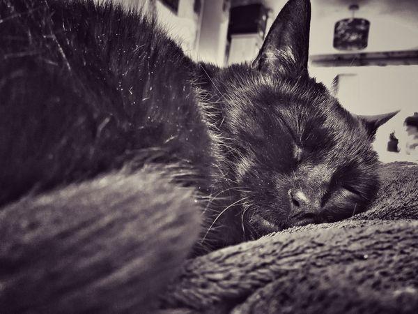 Black Cat Pet Portraits Animal Themes Black Cat Collection Black Cat Photography Cat Chat Chat Noir Katzen