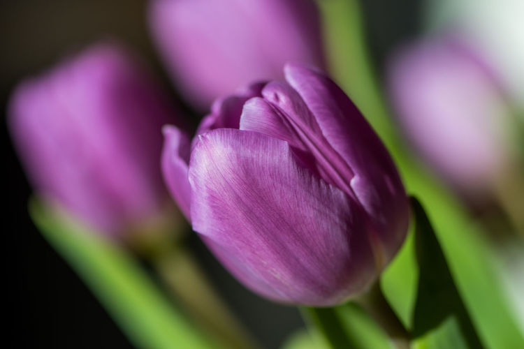 Beauty In Nature Blooming Close-up Day Flower Flower Head Fragility Freshness Growth Nature No People Outdoors Petal Plant Purple Tulip Tulips