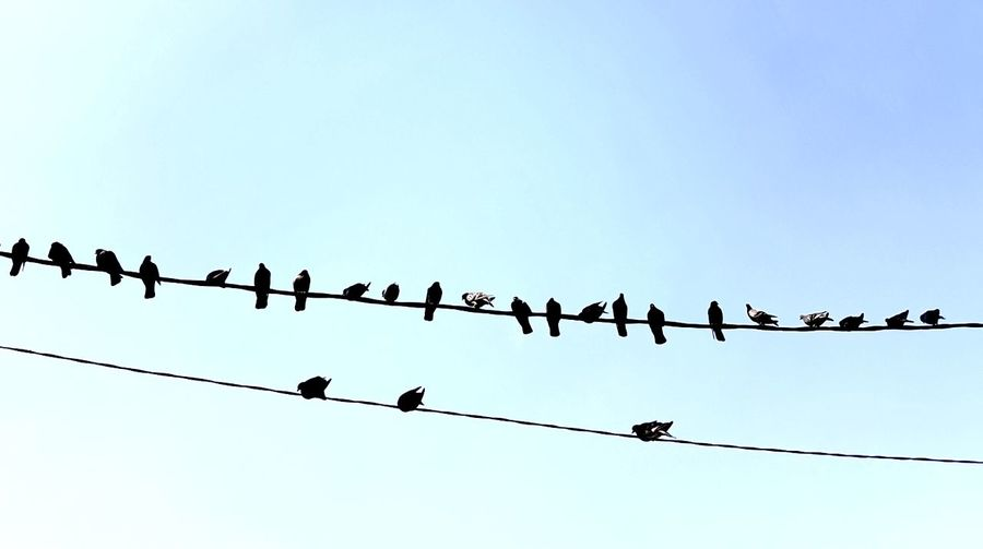 Birds perching on power lines against clear blue sky