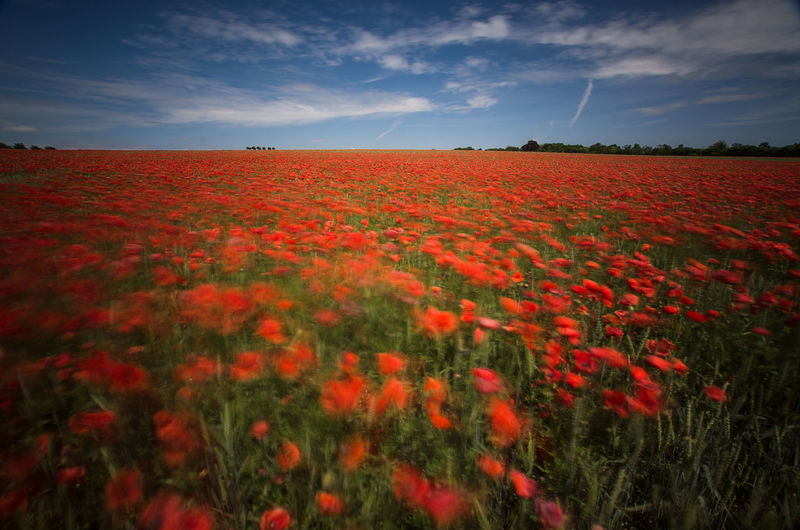 Movements Poppy Poppy Flowers Poppy Fields Poppy Season Poppy In Motion EyeEm Nature Lover Nature_collection The Great Outdoors - 2016 EyeEm Awards Kronsberg Hanover Naturelovers Nature From My Point Of View Eyeem Market EyeEm Gallery capturing motion EyeEm Flower Nature Is Art Red Flowers Urban Photography Nature Photography Beautifully Organized Colour Of Life My Favorite Place The Magic Mission The Secret Spaces The Great Outdoors - 2017 EyeEm Awards Sommergefühle EyeEm Selects Neon Life Breathing Space Investing In Quality Of Life The Week On EyeEm EyeEmNewHere Your Ticket To Europe Mix Yourself A Good Time Been There. Discover Berlin Done That. Lost In The Landscape Second Acts Be. Ready. EyeEm Ready   AI Now An Eye For Travel Colour Your Horizn Stories From The City Go Higher Visual Creativity Summer Exploratorium Focus On The Story #FREIHEITBERLIN Love Is Love This Is Natural Beauty Holiday Moments Capture Tomorrow Moments Of Happiness