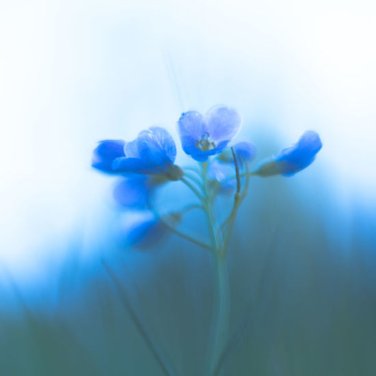 cardamine: blau Lady's Smock Beauty In Nature Blue Close-up Cuckoo Flower Cuckooflower D Flower Flowers Freshness Growing Growth In Bloom Meadow Meadow Flowers Nature Selective Focus