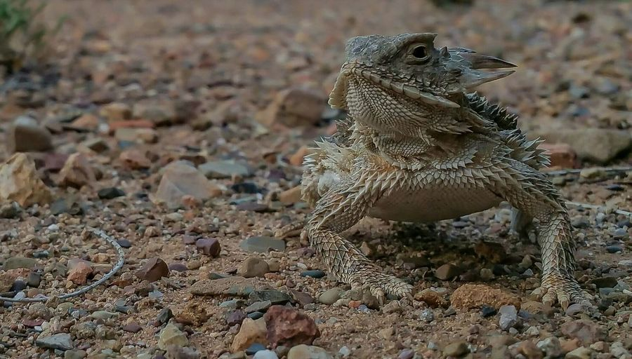 Desert Horny Toad Lizard