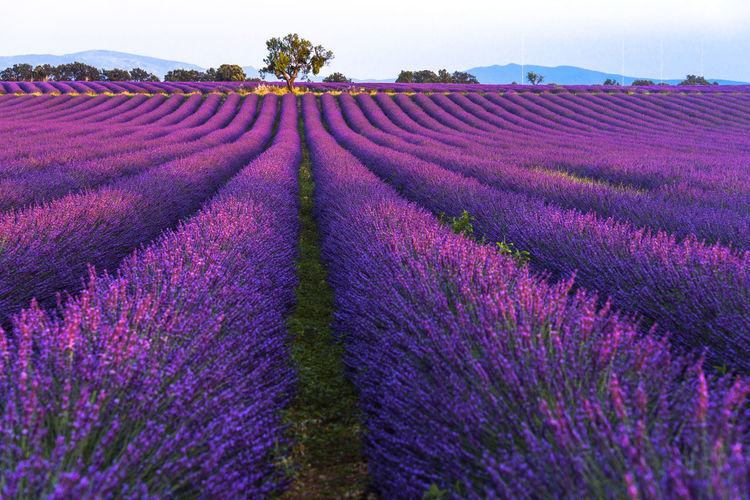 Lavender field with tree in evening light Plateau De Valensole Purple Beauty In Nature Lavender Field Rural Scene Agriculture Land Tree Flowering Blooming Blossom Provence Provencal Panorama Mountainns Hill Evening France