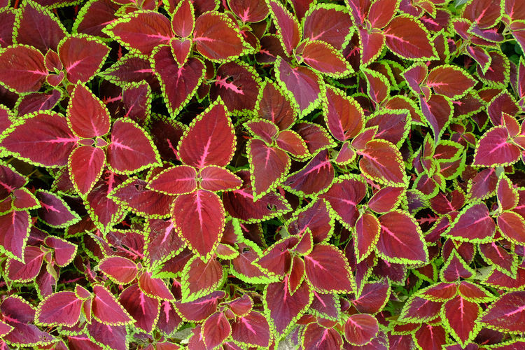 The Red and green leaves of painted nettle - coleus Red Abundance Backgrounds Beauty In Nature Close-up Day Flower Flower Head Flowering Plant Freshness Full Frame Green Color Growth Leaf Leaves Magnification Nature Nettle - Coleus No People Outdoors Pink Color Plant Plant Part Red