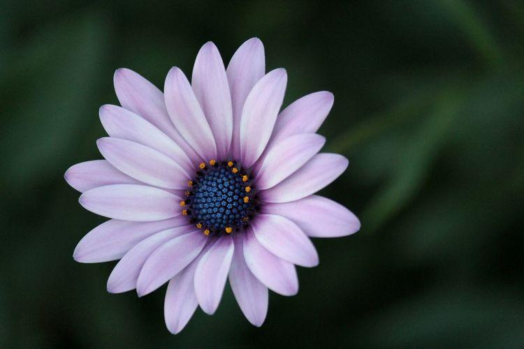 Close-up of purple daisy