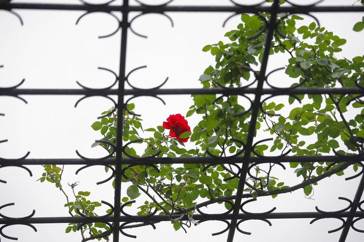 rose in prison Flowers Day Sochi Russia Outdoor Outdoor Photography Outdoors Rosé Gride Prison Gride Nature Nature Photography Flower Head Flower Tree Branch Bird Red Poppy Rose - Flower Petal Sky Love Is Love The Creative - 2018 EyeEm Awards