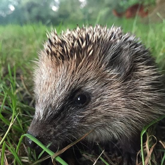 Ingen ( Hedgedog Anilmal Animals In The Wild Field Grass Hedgehog Igel Nature Outdoors Tiere