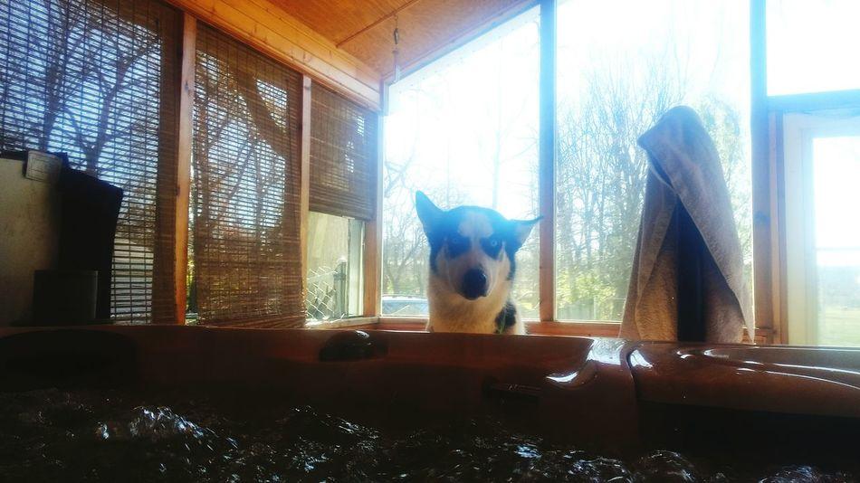 Husky Husky Puppy Siberian Husky Husky Love Husky Lover  Hottub  Hottubheaven Hot Tub Jacuzzi  WTF