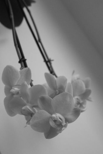 Beauty In Nature Black & White Black And White Blossom Blossoms  Close-up Flower Flower Head Flowers Growth Nature No People Orchid Orchid Blossoms Orchids Over Head Plant Art Is Everywhere Black And White Friday