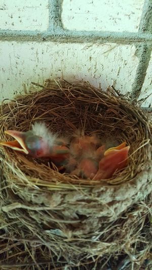 Baby Birds In Nest Baby Birds Robins Taking Photos Check This Out Getty Images Eye4photography  Epic Shot Photography Photography #photo #photos #pic #pics #tagsforlikes #picture #pictures #snapshot #art #beautiful #instagood #picoftheday #photooftheday #color All_shots Exposure Composition Focus Capture Moment [a: Eyeemphotography Phonephotography Photography Getty+EyeEm Collection Getty X EyeEm Images First Eyeem Photo Photography #photo #photos #pic #pics #tagsforlikes #picture #pictures #snapshot #art #beautiful #instagood #picoftheday #photooftheday #color #all_shots #exposure #composition Focus Capture Moment [