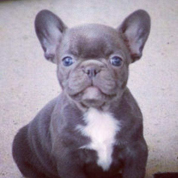 If i could get a dog but it had to be a small one it would have to be a french bulldog. Handsomedog Bulldog Cutedog