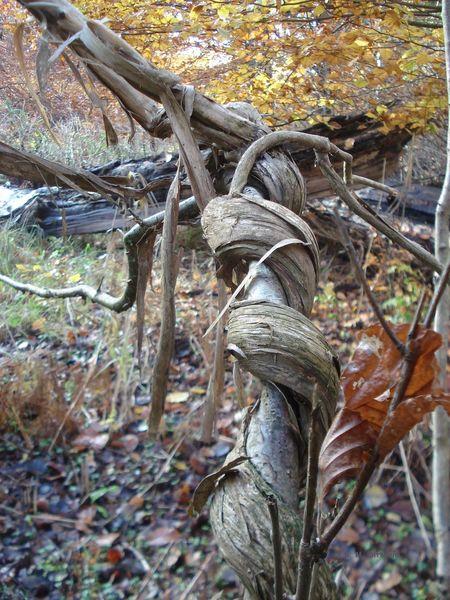 Geißblatt - Schlingpflanze Lianen Peenemünde Schlange  Urwald Peenemünde Usedom Ostsee Waldspaziergang Würgeschlange Beauty In Nature Forest Nature No People Outdoors