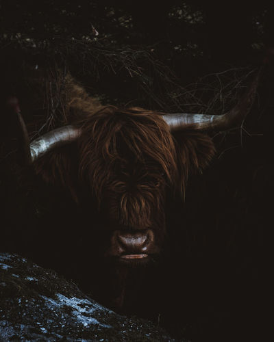 Angry Animals In The Wild Dark Highland Cattle Norway Animal Themes Animal Wildlife Cattle Close Up Close-up Cow Day Domestic Animals Forest Highland Cattle Livestock Mammal Moody Moodygrams Nature No People One Animal Outdoors Stare Wildlife