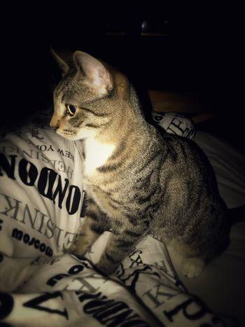 Animal Animal Themes Mammal Vertebrate Text No People Pets Cat