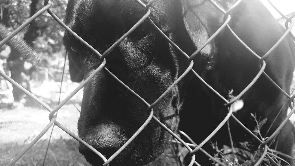 Otello in the garden :) Animal Body Part Animal Head  Animals In Captivity Black Color Cage Chainlink Fence Close-up Day Fence Focus On Foreground Labrador Mammal Nature No People Otello Outdoors Part Of Photograph Photographer Photography Protection Selective Focus Sweet Dog  Vision Zoo
