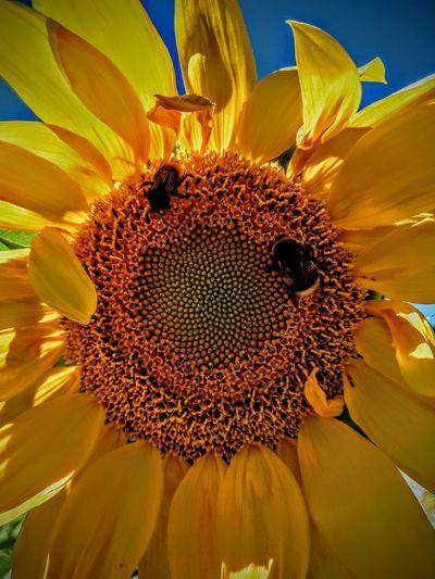 girasole Flower