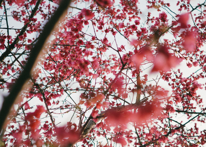 Blooming Plum flower Beauty In Nature Blossom Branch Change Close-up Day Flower Fragility Freshness Growth In Bloom Low Angle View Nature No People Orange Color Outdoors Pink Color Red Scenics Season  Sky Sun Tranquility Tree Twig