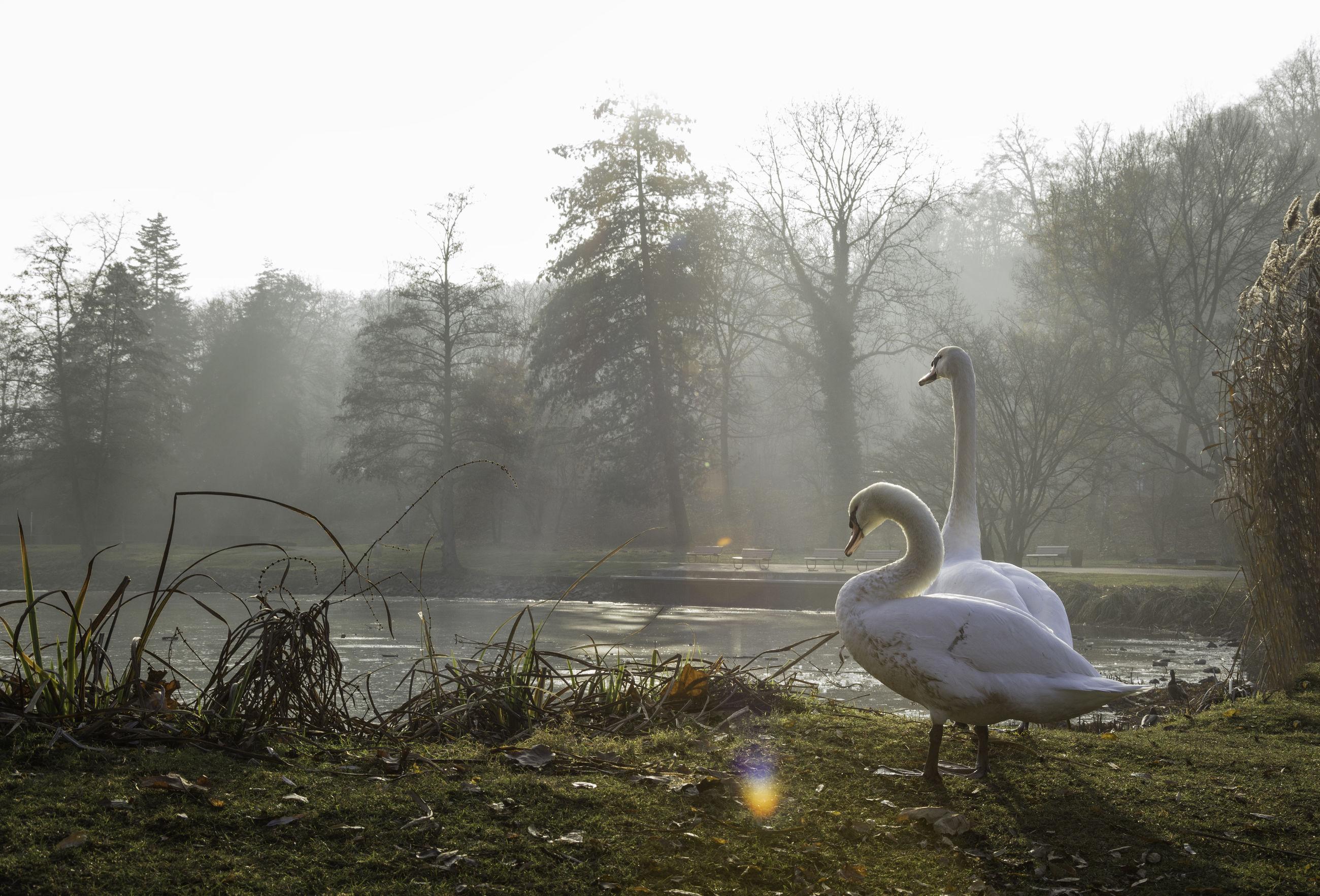 bird, water, animals in the wild, animal themes, lake, tree, nature, animal wildlife, swan, day, outdoors, no people, grass, black swan