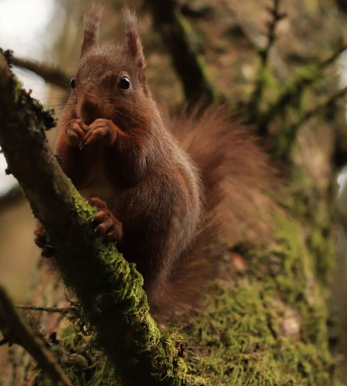red squirrel in