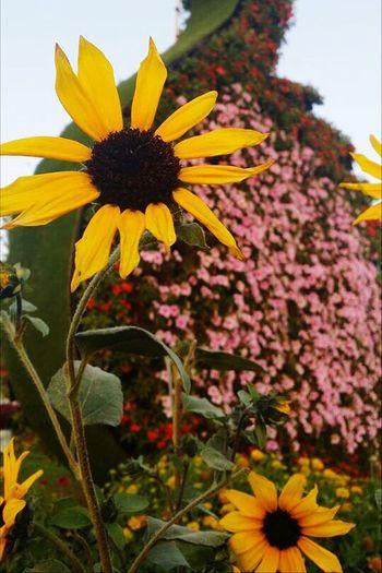 Sunflower Dubai Miracle Garden Sunflower Flower Flowering Plant Plant Freshness Growth Fragility Vulnerability