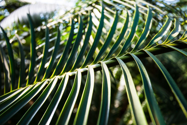 Close-up of palm leaves