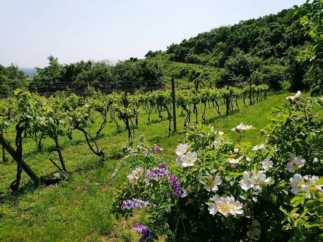 vineyard in Slovakia. today location scouting Enjoying Life Landscape Nature Photography Vineyard