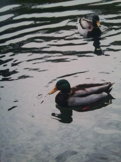 Taking Photos Central Park CentralPark Duck Pond Ducks