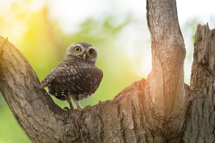Spotted owl wondering what photographer doing. Big Eyes Hollow Tree Juvenile Looking At Camera Nest Owl Photographer Spotted Sun Light Through Trees