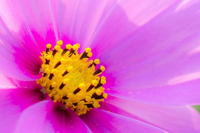 盛放 開 蕊 誘 植物 盛放 帶著鏡頭趴趴照 野花 波斯菊 採 蜜 瓣 隨記 微距