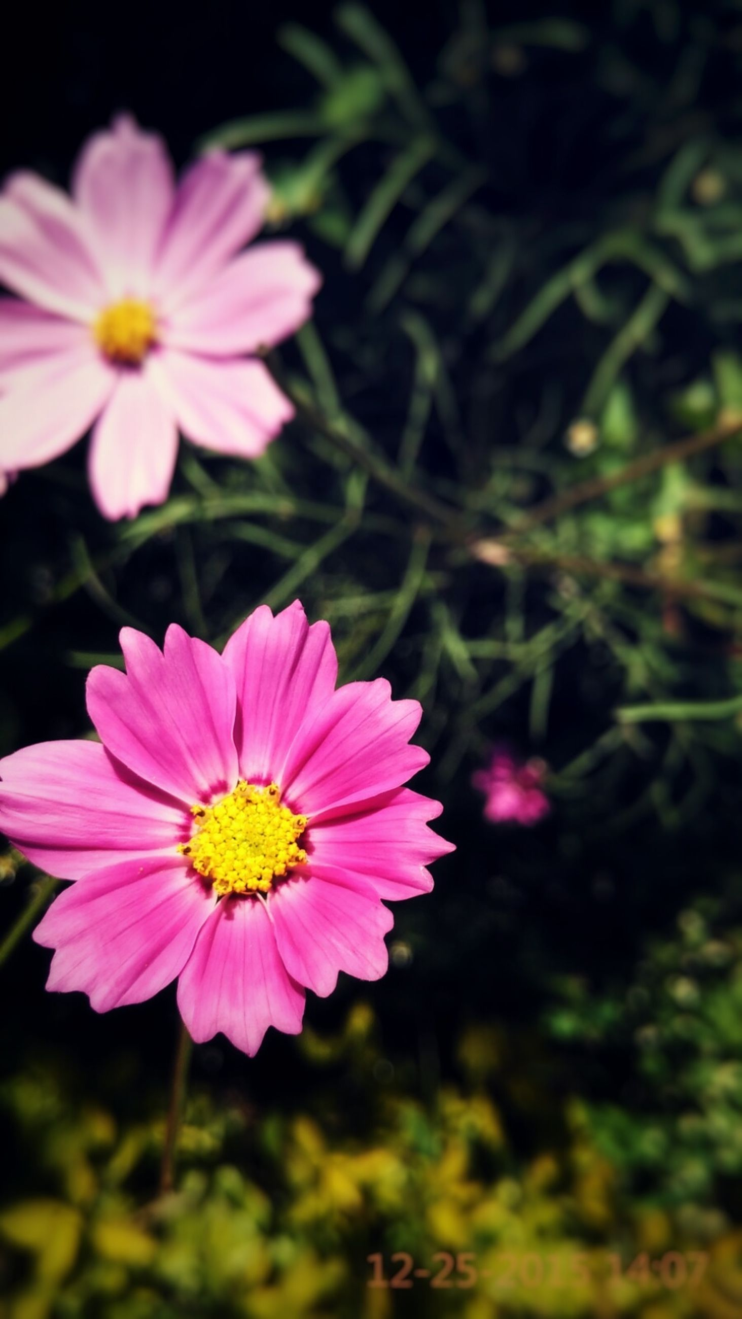 flower, freshness, petal, fragility, flower head, beauty in nature, growth, blooming, focus on foreground, pink color, nature, close-up, pollen, plant, in bloom, blossom, park - man made space, red, outdoors, day