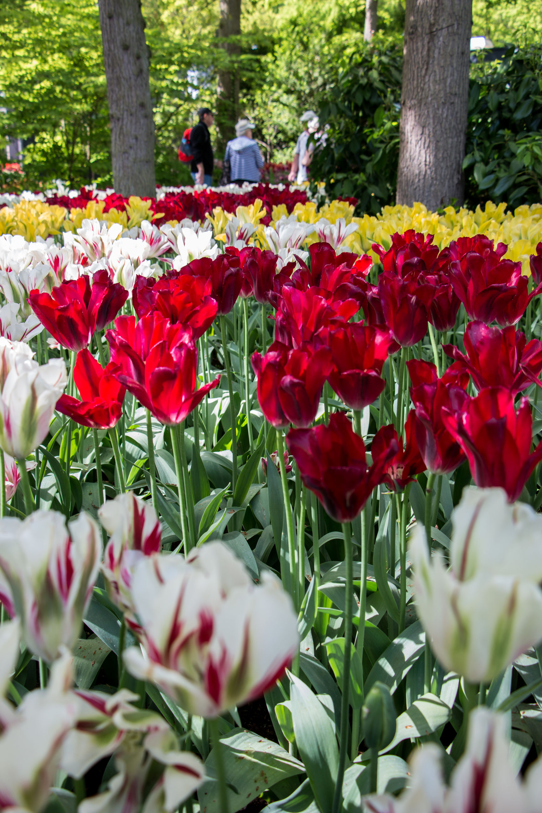 flower, growth, nature, beauty in nature, red, petal, fragility, blooming, outdoors, day, green color, plant, freshness, flower head, park - man made space, tulip, leaf, no people, tree, close-up