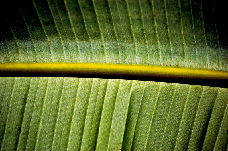 Backgrounds Banana Leaf Beauty In Nature Close-up Day Detail Freshness Full Frame Green Color Growth Leaf Leaves Natural Pattern Nature No People Outdoors Palm Leaf Pattern Plant Plant Part Repetition Textured  The Traveler - 2018 EyeEm Awards