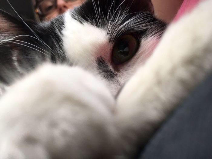Estamos de olho! Domestic Cat Feline Pets Leo Leopoldo Cat