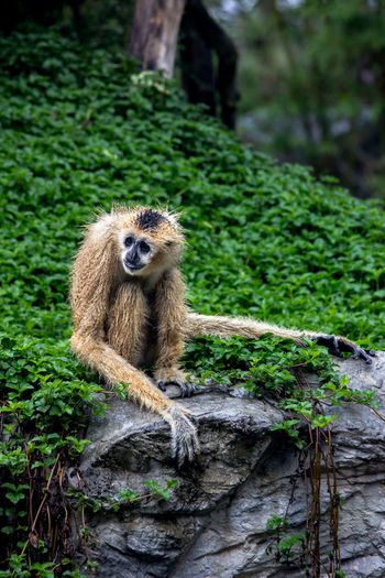 Gibbon sitting on rock in forest
